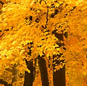 Specimen trees ideal for the American Landscape
