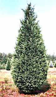 England Christmas Tree