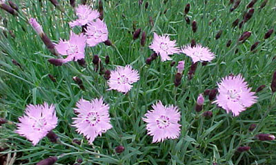 Flowering ground covers dianthus baths pink mightylinksfo
