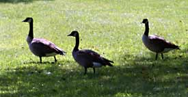 Geese on the lawn create a multitude of problems for homeowners.