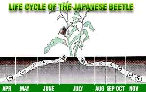 Life cycle illustration of the Japanese beetle