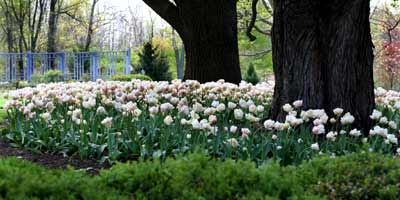 Inniswood Tulips and Silver Maple Tree