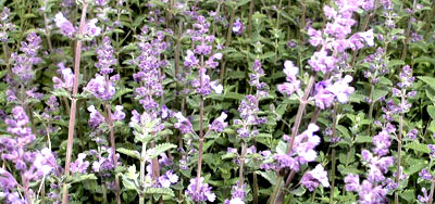 Flowering ground covers nepeta x faassenii walkers low walkers low catmint especially effective in front to middle of borders used as groundcover grown in container mightylinksfo