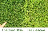 Thermal Blue vs Tall Fescue