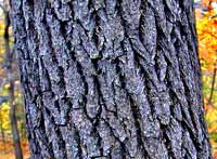 Sassafras tree bark