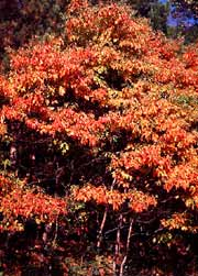 Sassafras tree with it's brilliant fall foliage.