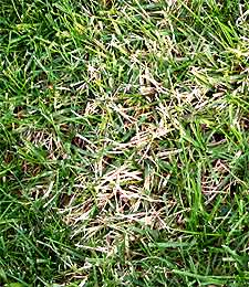 Removing Zoysia Grass From Your Cool Season Lawn